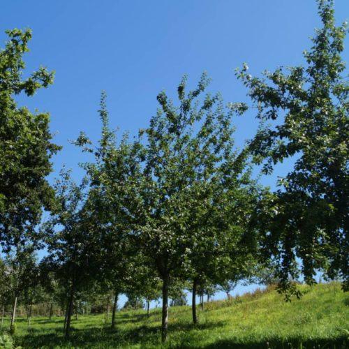 pommiers de la vallée du Ham